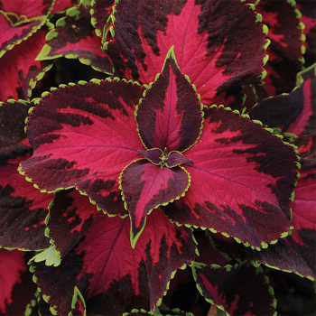Choco Covered Cherry Coleus