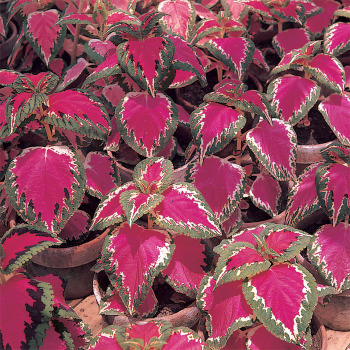 Color Pride Coleus