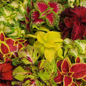 Wizard Mix Coleus - 250 seeds