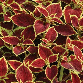 Premium Sun Crimson Gold Coleus