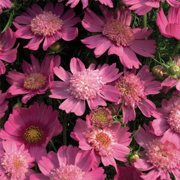 Pink Popsocks Cosmos