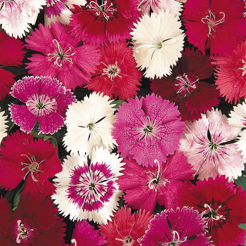 Ideal Select Mix Dianthus Pixie Stakes