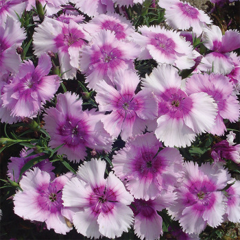 Diana Lavender Picotee Hybrid Dianthus