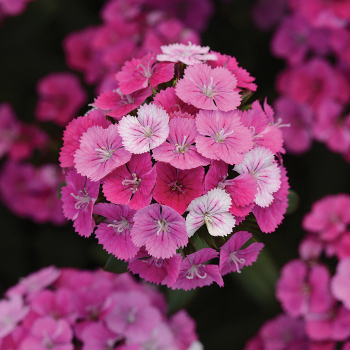 Jolt Magic Pink Hybrid Dianthus