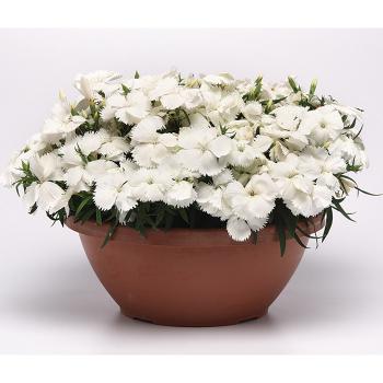 White Corona Hybrid Dianthus