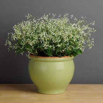 Glitz Euphorbia