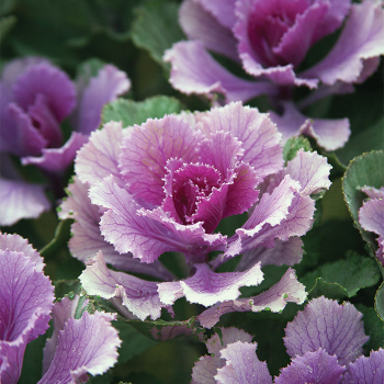 Rose Flare Hybrid Flowering Kale