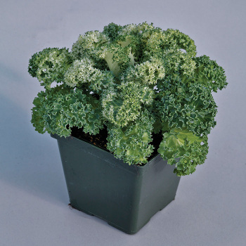 Yokohama Hybrid Flowering White Kale
