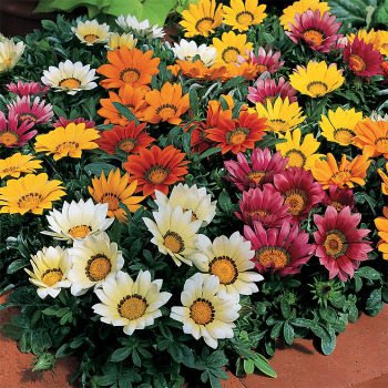 Kiss Mix Hybrid Gazania