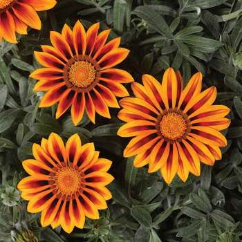 Kiss Frosty Orange Flame Gazania Pixie Stakes