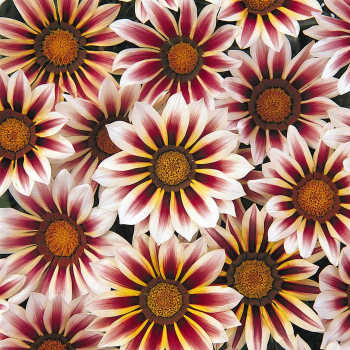 New Day Rose Stripe Gazania