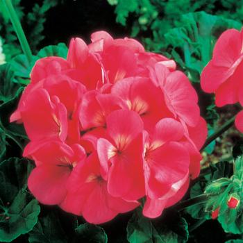 Maverick Pink Hybrid Geranium