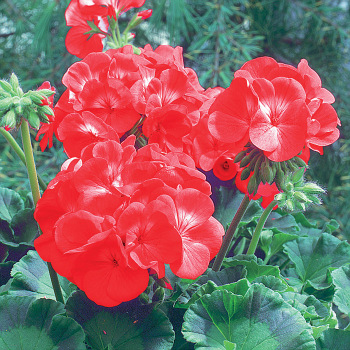Maverick Red Hybrid Geranium