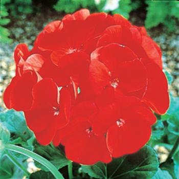 Maverick Scarlet Hybrid Geranium