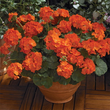 Maverick Orange Hybrid Geranium