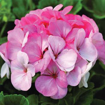 Pinto Premium White To Rose Hybrid Geranium
