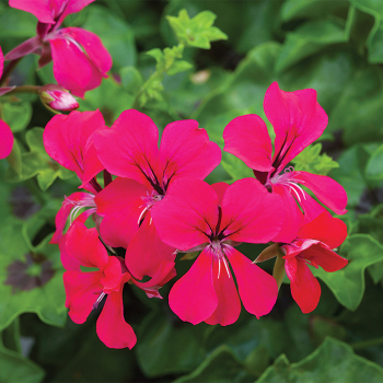 Hot Pink Reach Out Hybrid Geranium