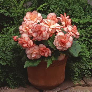 Calypso Hybrid Begonia