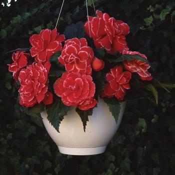 Amerihybrid Lace Red Hybrid Begonia