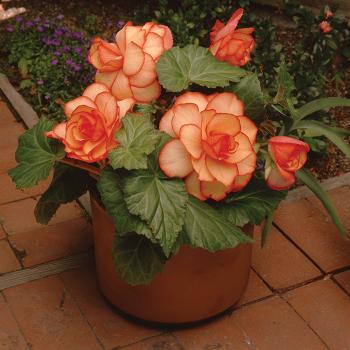 Amerihybrid Sunburst Hybrid Begonia - 100 pellets