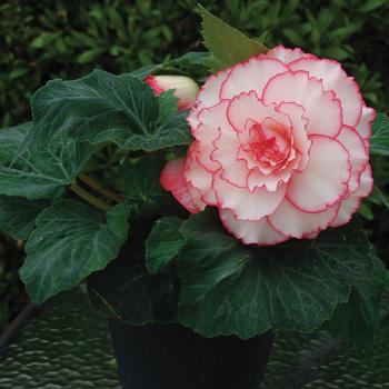 Amerihybrid White Pink Hybrid Begonia