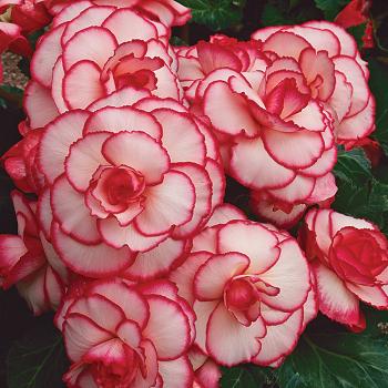 Amerihybrid White Red Hybrid Begonia