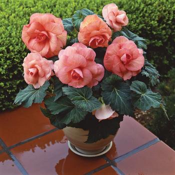 Peach Amerihybrid Roseform Begonia