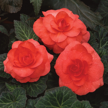 Salmon Amerihybrid Roseform Begonia - 100 seeds