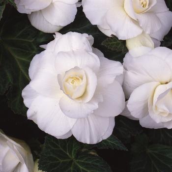 White Amerihybrid Roseform Begonia