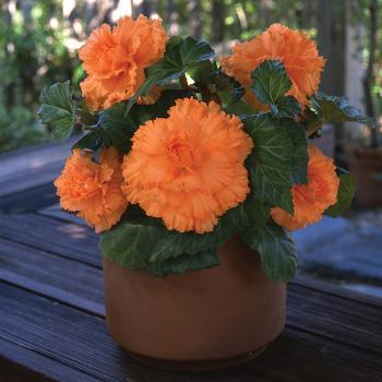 Amerihybrid Ruffled Apricot Begonia