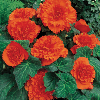 Amerihybrid Ruffled Mandarin Orange Begonia