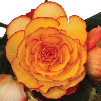 Sunset Shades On Top Hybrid Begonia