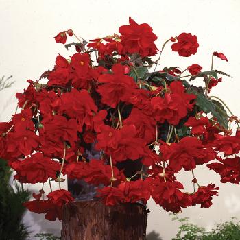 Red Sun Dancer Hybrid Begonia