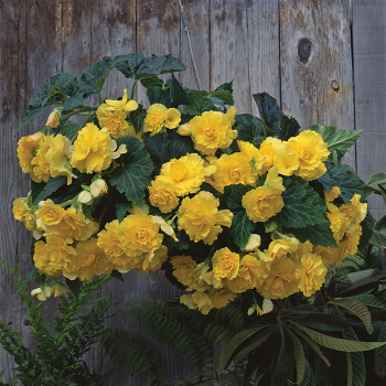 Yellow Sun Dancer Hybrid Begonia