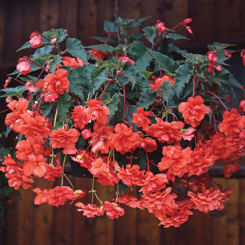 Salmon Sun Dancer Hybrid Begonia