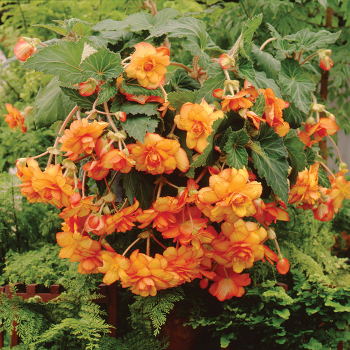 Yellow Red Picotee Sun Dancer Hybrid Begonia