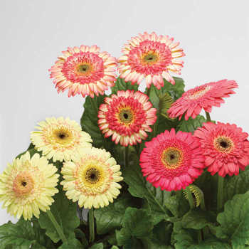 Cartwheel Strawberry Twist Hybrid Gerbera