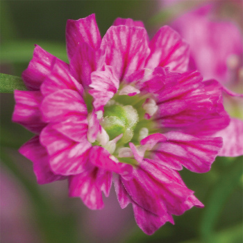 Gypsy Deep Rose Gypsophila