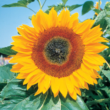 Full Sun Improved Hybrid Sunflower