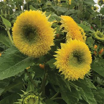 Gummy Bear Sunflower