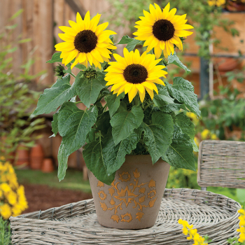 Sunbuzz Hybrid Sunflower