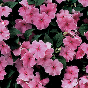 Accent Deep Pink Hybrid Impatiens