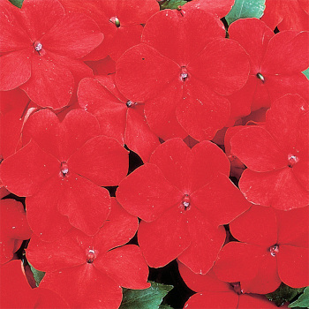 Accent Red Hybrid Impatiens
