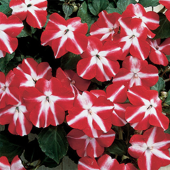 Accent Red Star Imipatiens