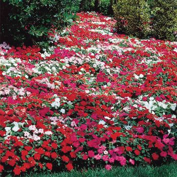 Accent Mix Impatiens