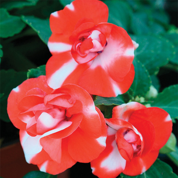 Athena Orange Flash Hybrid Impatiens