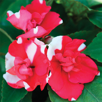 Athena Red Flash Hybrid Impatiens