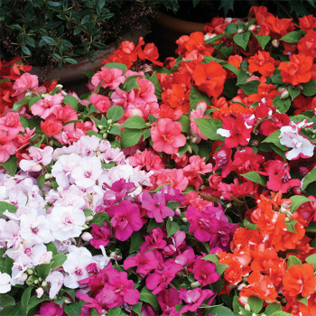 Athena Mix Hybrid Impatiens