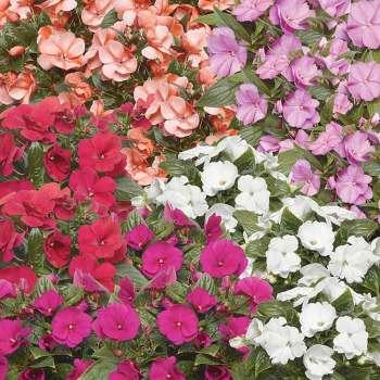 Florific Mix Impatiens