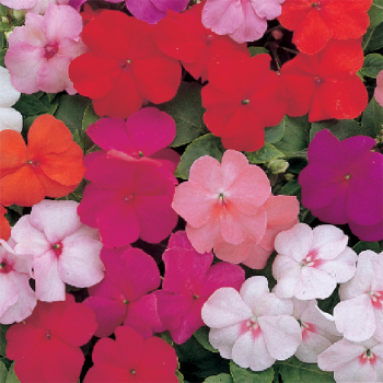 Dwarf Baby Mix Impatiens